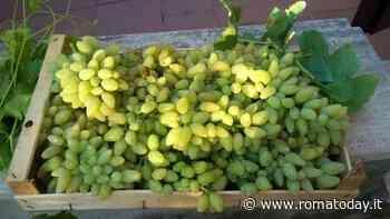 L'uva Pizzutello di Tivoli diventa presidio Slow Food