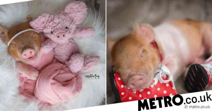 Photographer stages adorable newborn photoshoot with baby…piglet