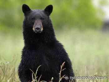 Woman killed by black bear near Buffalo Narrows; first fatal bear attack in Sask. in four decades - Saskatoon StarPhoenix