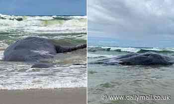 'Disgraceful' twist in tragedy of sperm whale washed up on Patchs Beach as JAW hacked off by poacher