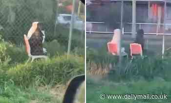 Adorable moment a white Labrador and a brown pitbull cross sit on lawn chairs