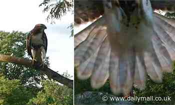 Red-tailed hawk sends a DRONE plummeting to the ground after it flies too close to the bird's perch