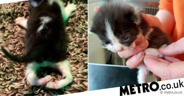 10-day-old kitten who was born with legs back to front needs funds for surgery