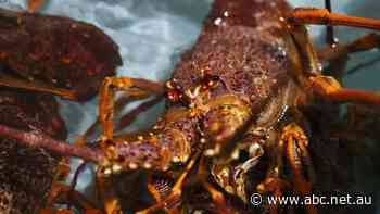 Rock lobster fishing opens early as industry plays COVID-19 catch-up