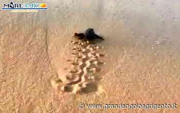 Porto Empedocle, nuova schiusa di tartaruga caretta caretta - Grandangolo Agrigento