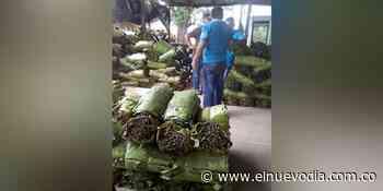 Construirán centro de acopio de hoja de cachaco en Coyaima - El Nuevo Dia (Colombia)