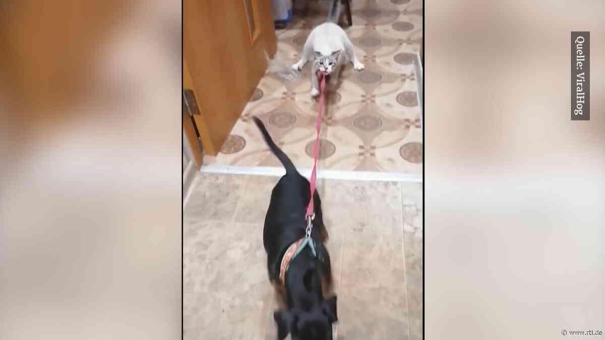 Tauziehen zwischen Katze und Hund: Wer hat hier wen im Griff? - RTL Online
