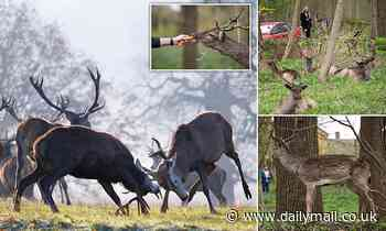 Britain's woodlands face a deer invasion as lockdown lessens the demand for wild venison