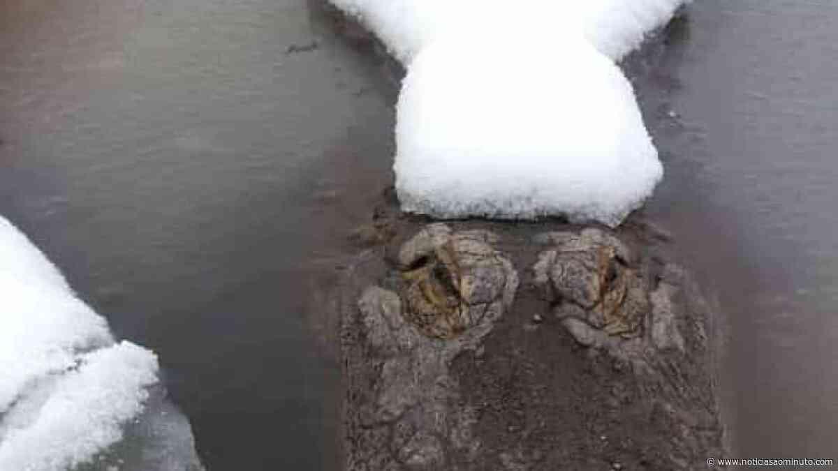 No Colorado, jacarés apanham banhos de sol na neve - Notícias ao Minuto