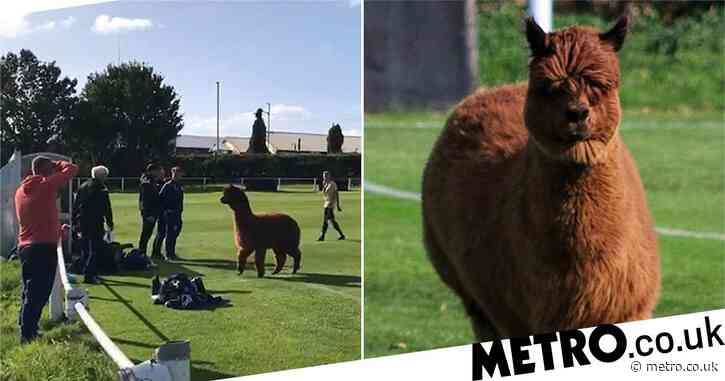 Alpaca invades football match and charges at the players