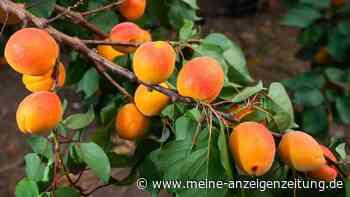 Helfen Aprikosenkernen wirklich gegen Krebs? Experten haben einen klaren Standpunkt