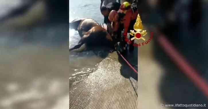 Un cavallo scivola nel Piave: i vigili del fuoco lo salvano tra gli applausi. Il video dell'operazione