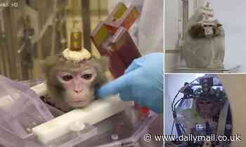 Monkeys have holes drilled in their skulls at Belgian university