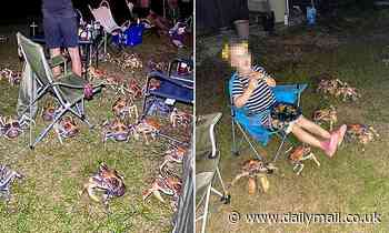 Christmas Island: Family trying to enjoy a spring barbecue surrounded by robber crabs