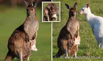 Eastern Grey kangaroo gives birth to an albino baby that looks JUST like his dad