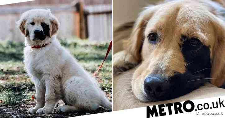 Adorable Golden Retriever has huge Instagram following due to his unusual markings