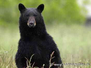 Woman killed by black bear near Buffalo Narrows; first fatal bear attack in Sask. in four decades - Northern Daily News