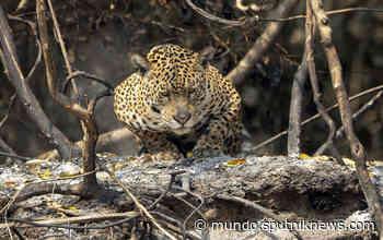 El principal refugio de jaguares de Sudamérica teme acorralado por las llamas en Brasil - Sputnik Mundo