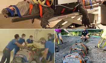 Bob the 660-pound alligator undergoes an X-ray
