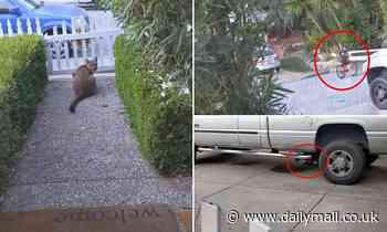 Terrifying moment mountain lion is caught on camera sneakily watching children play in the street