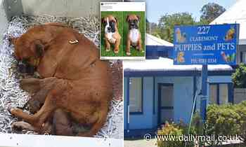 Strawberry the dog dies with rotting puppies inside her as RSPCA raid breeders