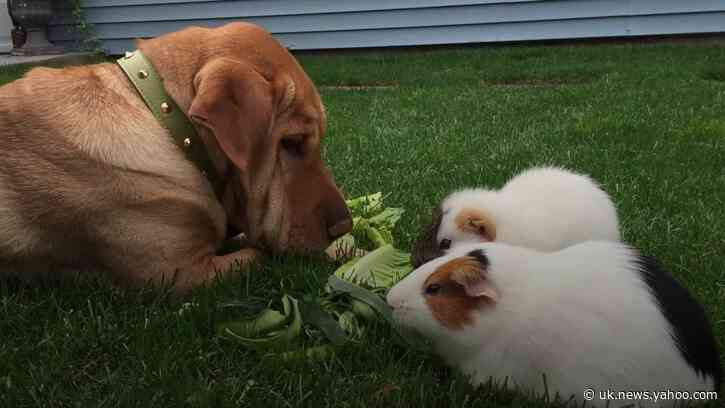 Dog and best-friend guinea pigs gather social following