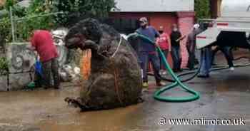 Workers discover 'giant rat' during clearance of underground drainage system