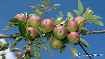 Oestrich-Winkel gibt Obstbäume zum Pflücken frei - HIT RADIO FFH