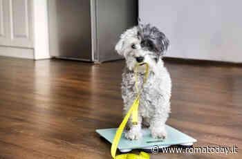 Alimentazione e sport, come aiutare un cane in sovrappeso