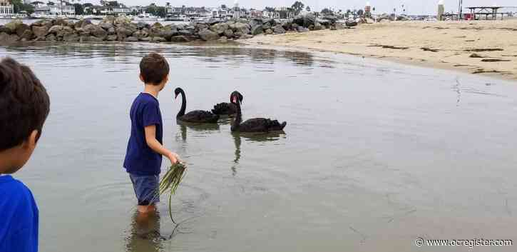 Rare sighting of black swans brings science lesson to Newport Harbor