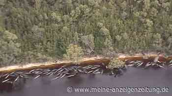 Wal-Drama vor Australien: Hunderte Tiere sterben  – Experten rätseln
