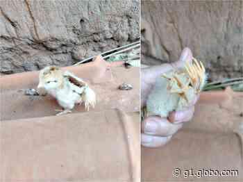 Pintinho nasce com quatro patas e chama atenção de criadora em Angatuba: 'Nunca vi isso' - G1