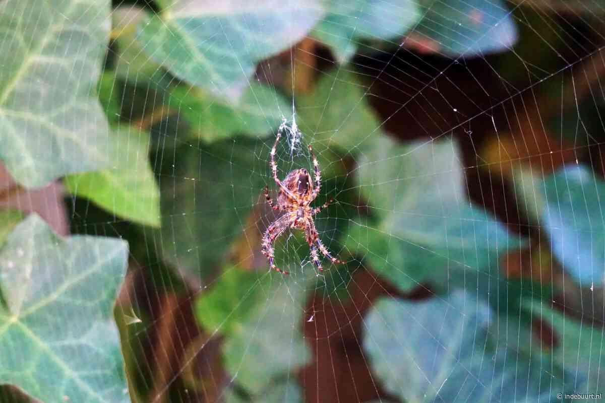 Spinneninvasie in Schiedam? 'Ze hebben geen vleugels, maar kunnen wel vliegen' - indebuurt