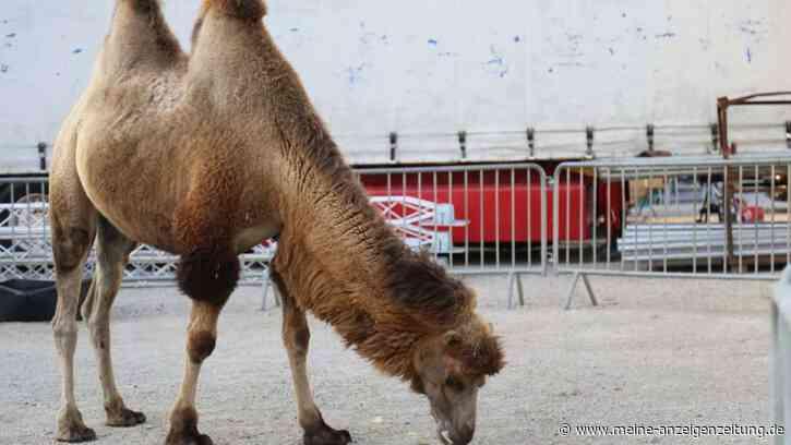 Spendenaufruf: Circus Barnum braucht Futter für die Tiere