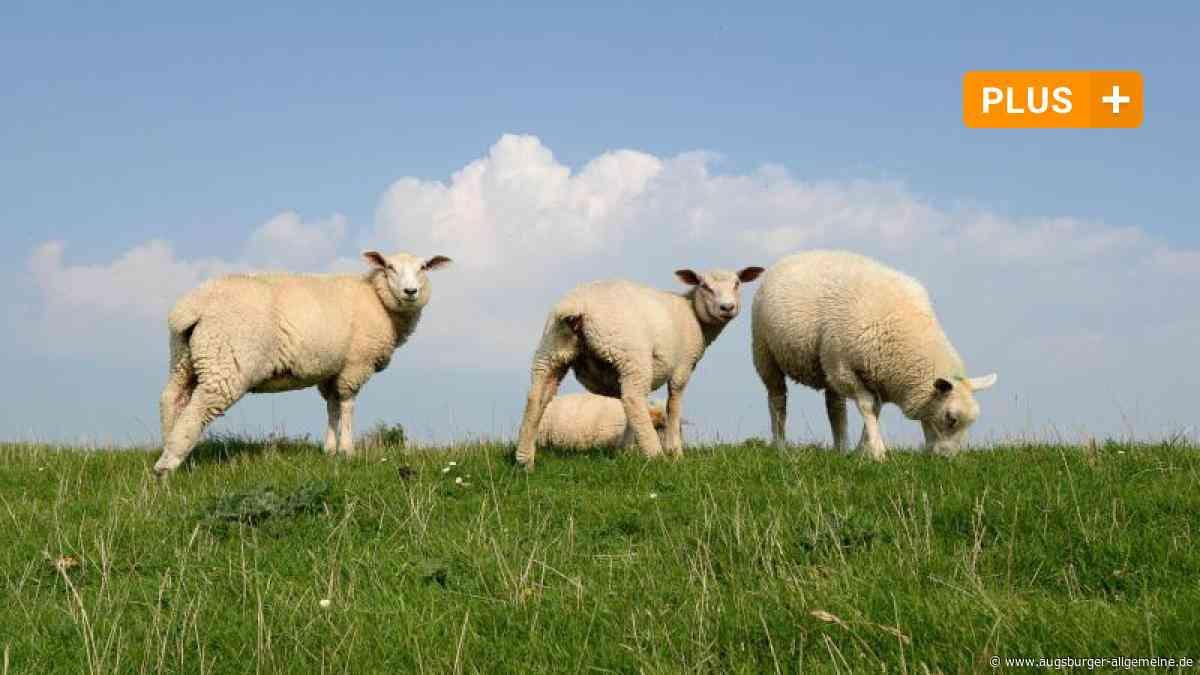 Frei laufende Schafe bei Leeder sorgen für Ärger