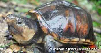 Monitorearán a las tortugas truenito del Bajo Baudó - Semana