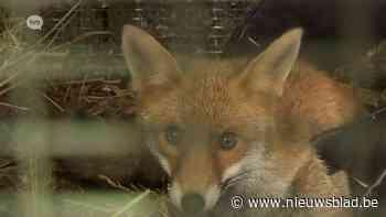 Vergiftigde vos gered maar opvangcentrum Merelbeke waarschuwt diereneigenaars