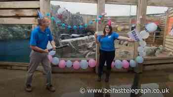 Aquarium stages gender reveal ceremony for penguin chick
