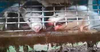 Animal rights activist exposes cannibalism at world's largest mink farm