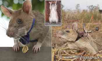 Boom crown rat: Magawa the bomb disposal rodent is awarded animal George Cross