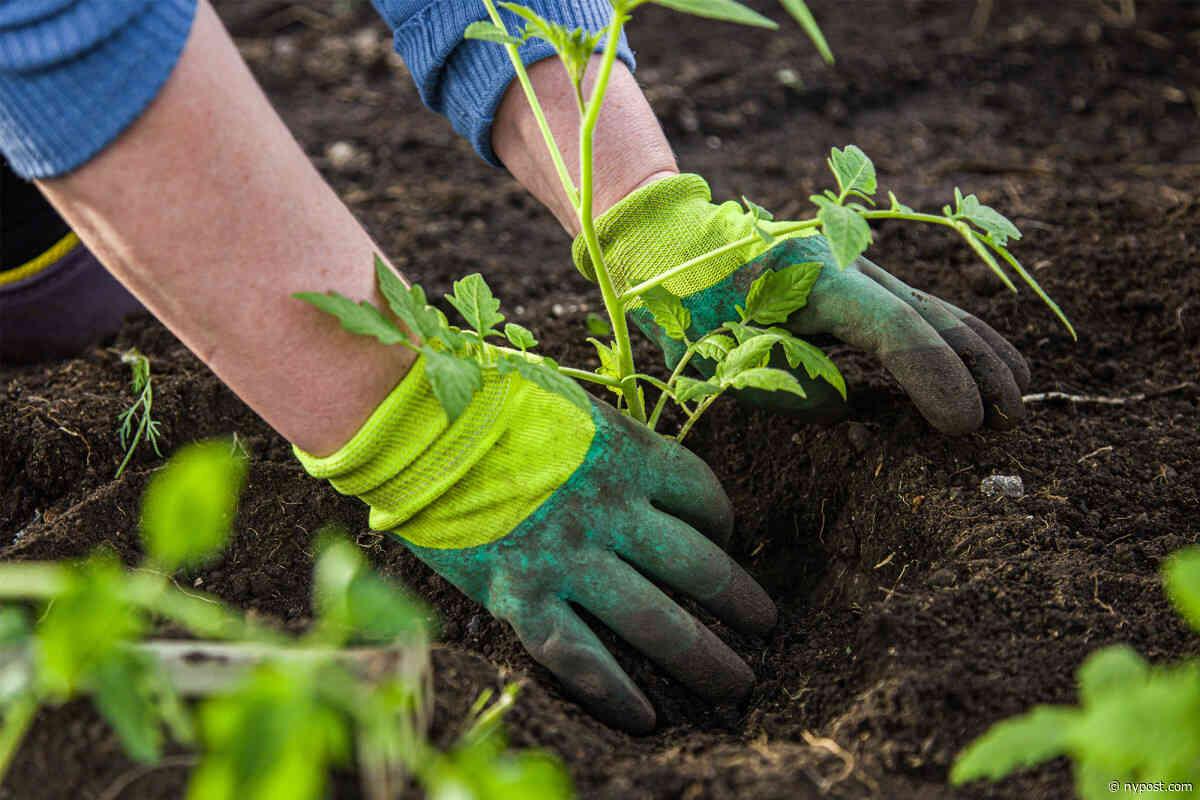 Amoeba found in soil kills gardener, turns his brain into mushy liquid - New York Post