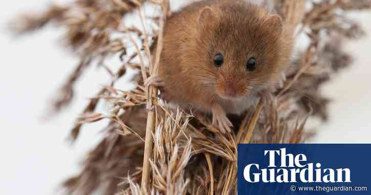 Country diary: tufts of grass hide tiny breeding chambers