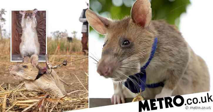 Hero rat gets gold medal for 'livesaving bravery' clearing landmines