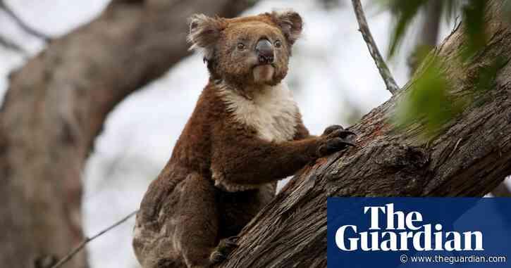 'Sliding towards extinction': koala may be given endangered listing as numbers plummet