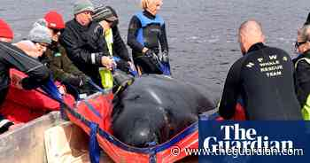 Tragedy in Tasmania: what are pilot whales, and why do they strand themselves?