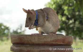 The 'hero rat' and other animals honoured for bravery