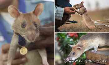 PDSA Gold Medal awarded to landmine-detecting African pouched rat