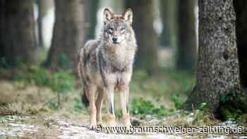 Schutz vor dem Wolf: 82 Kilometer neue Zäune aufgestellt