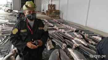 Tumbes: Incautan ocho toneladas de carne de tiburón en Zarumilla - RPP Noticias