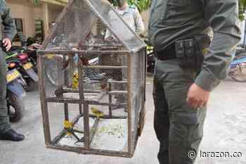 Recuperan 18 aves silvestres en Planeta Rica - LARAZON.CO - LA RAZÓN.CO